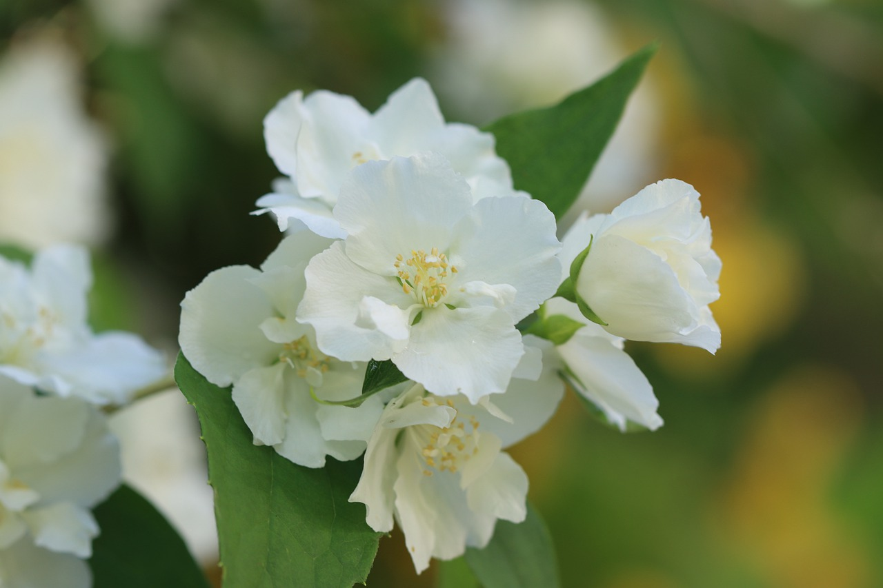 Flower White Shrub Nature Garden  - MLARANDA / Pixabay